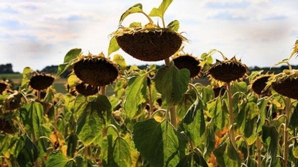 Agricultorii risca sa piarda 40-45% din productia de floarea soarelui