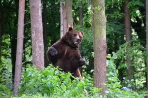 Amenda uriasa anuntata de ministrul Mediului in cazul in care extragerea ursului nu a fost legala