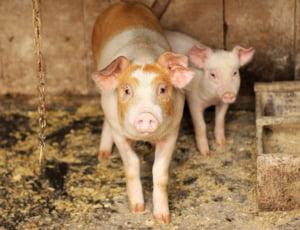 Aproape 1.000 de focare de pesta porcina africana in Romania: Peste 340.000 de porci au fost sacrificati