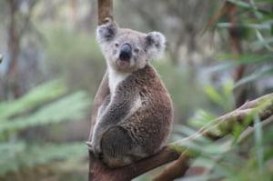 Australia: Seminte de eucalipt, imprastiate cu ajutorul dronelor pentru a contribui la refacerea populatiei de ursi koala