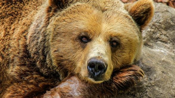 """Autoritatile vor sa """"recolteze"""" 140 de ursi si 94 de lupi si asteapta bani europeni pentru asta"""