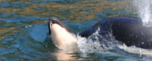 Balena care a uimit comunitatea stiintifica si a emotionat o lume si-a parasit in sfarsit puiul, dupa 17 zile de doliu