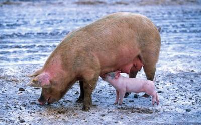 Belgia sacrifica porcii preventiv, CE saluta decizia