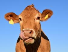 Bratarile conectate la cloud ofera fermierilor date cu privire la starea de sanatate a vacilor