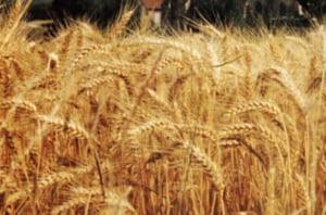 Bulgaria nu este amenintata de o penurie de cereale