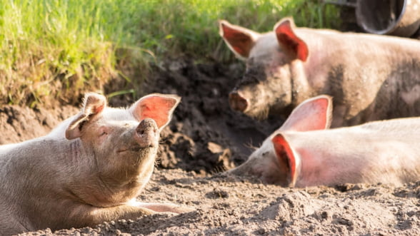 Bulgaria primeste de la UE aproape trei milioane de euro pentru a lupta cu pesta porcina africana