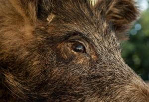 Bulgaria vrea sa ridice un gard la granita cu Romania ... impotriva porcilor
