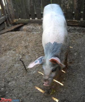Bulgarii se feresc de pesta porcina: Romanii nu au voie sa intre cu carne de porc in tara lor