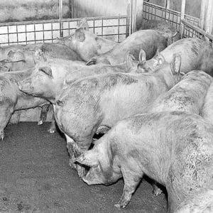 Cat ne costa gripa porcina