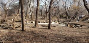 Ce face Negoita cu copacii cazuti? Anul trecut au fost stransi 2.000 de mc de lemn. Iar acum IOR-ul arata ca dupa defrisare (Foto)