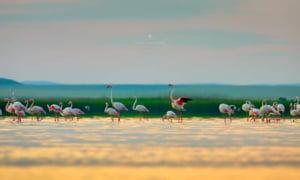 """Ce s-a întâmplat cu colonia de păsări Flamingo care apăruse în Dobrogea: """"Probabil au fost stresate"""""""