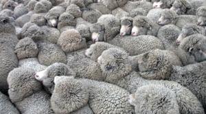 Ciobanii s-au adunat la usa lui Daea si ameninta cu greva foamei. Iata ce ii nemultumeste