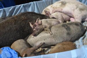 Comisia Europeana: Pesta porcina s-ar putea extinde in intreaga tara foarte curand. Cum arata harta incompetentei autoritatilor