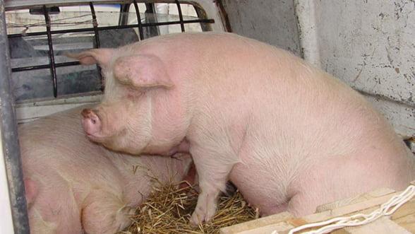 Crescatorii de porci au pierdut 20 milioane de euro in doua luni, din cauza importurilor
