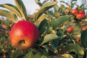 Cum sa faci profit dintr-o livada de pomi fructiferi