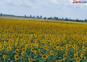 Despagubiri pentru recoltele parjolite de seceta - Cati bani de statul