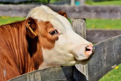 Din lipsa de clienti, fermierii britanici sunt nevoiti sa arunce laptele