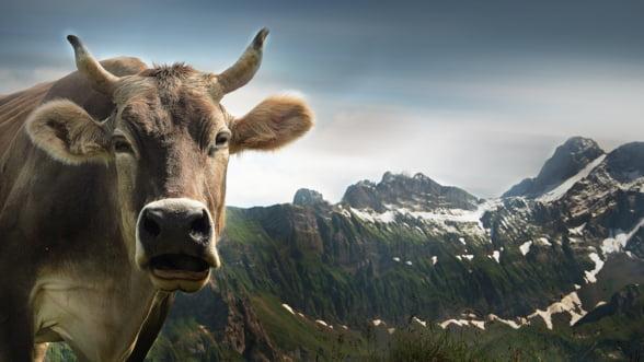 Elvetienii vor vota duminica daca vacile isi vor pastra coarnele