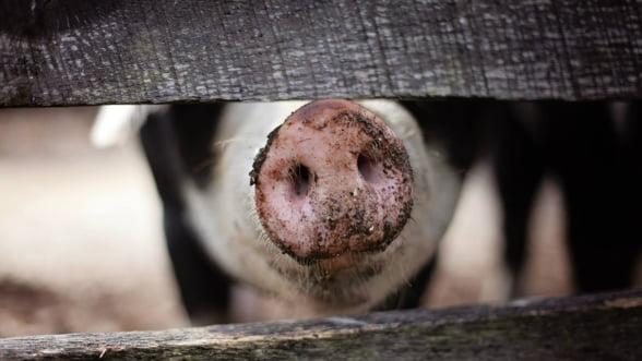 Epidemia de pesta porcina africana se extinde in Europa de Est