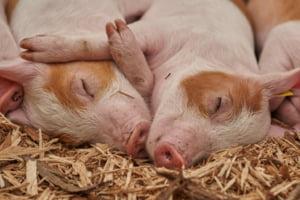 Excedent de carne de porc, in Europa. Coronavirusul si pesta porcina au dus la scaderea vanzarilor