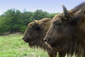 Fauna Romaniei, mai bogata cu 6 bizoni europeni. Care este povestea lor