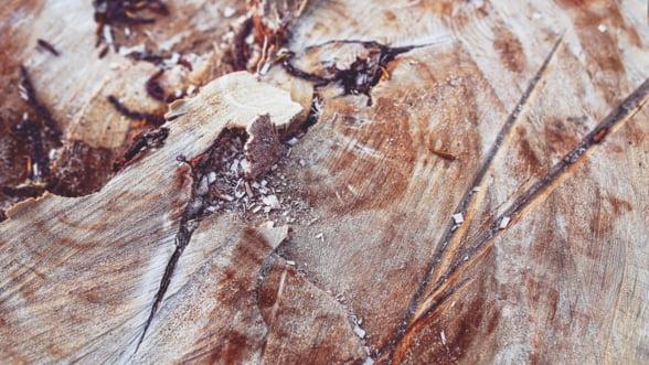 Greenpeace: Autoritatile de control depisteaza doar 1% din totalul taierilor ilegale de lemn care au loc in Romania
