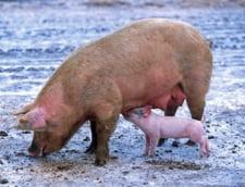 Guvernul Dancila, prin Ministerul de Finante, a votat taierea fondurilor pentru pesta porcina in bugetul UE 2019