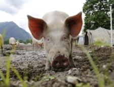 Guvernul aloca un ajutor financiar pentru crescatorii de porci de 4,6 milioane de lei