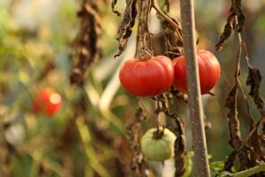Guvernul trebuie sa despagubeasca si fermierii: Tuta absoluta a distrus rosiile de toamna