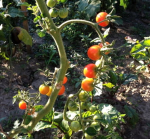 Guvernul vrea sa-i ajute pe fermieri sa cultive rosii, dar a facut un program inutil