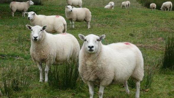 INS: Productie mai mica la lapte in 2012, dar in crestere la lana