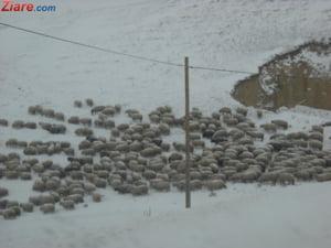 In plina criza, ministrul Agriculturii numara oi: Sunt 12 milioane, putem face 12 milioane de plapumi pentru saraci
