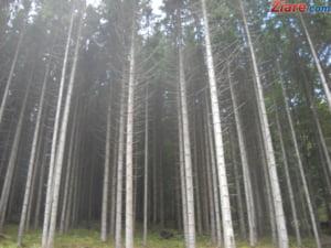 Mafia lemnului: Perchezitii de amploare in jumatate de tara - prejudiciu urias