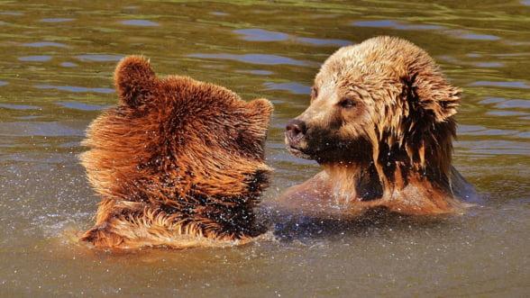 Ministerul Mediului: Nu va veni nimeni sa impuste la intamplare 140 de ursi
