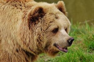 Ministrul Mediului spune ca sanctuarul pentru ursi de la Zarnesti e aproape plin si vrea sa construiasca unul nou