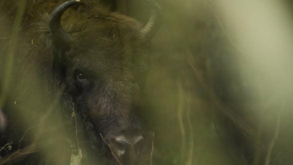 Muntii Fagaras vor fi repopulati cu zimbri dupa 200 de ani