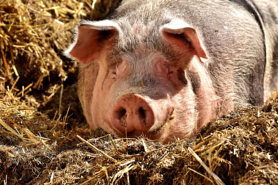Numarul porcilor din Romania a scazut cu peste 300.000 de capete, in ultimul an