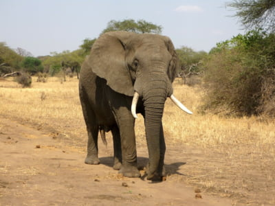 O tara din Africa a inceput sa exporte elefanti, pentru ca are prea multi