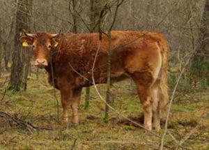 O vaca nu s-a lasat dusa la abator, a evadat si s-a ascuns in padure, iar de atunci a devenit un fenomen social in Olanda #JeSuisHermien