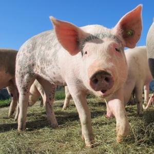 Pesta porcina africana a fost confirmata intr-o gospodarie din judetul Constanta. Au fost impuse restrictii