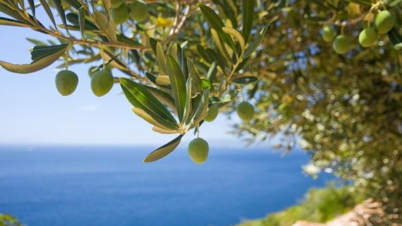 Peste jumatate din livezile de maslini din UE sunt in Spania
