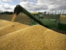 Porumbul, graul si tigarile, in topul produselor agroalimentare exportate in ianuarie