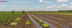 Povestea fermierului de 37 de ani din Calarasi, care si-a lasat afacerile pentru a produce cartofi sanatosi