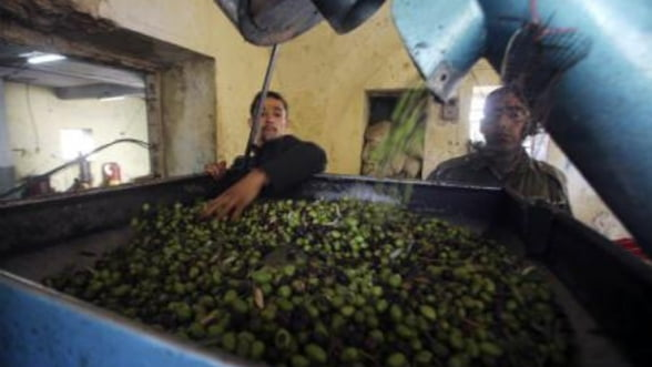 Productia mondiala de ulei de masline s-ar putea reduce cu pana la 20%