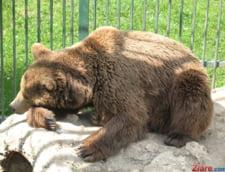Protectia Mediului Mures: Efectivul optim de ursi este de 240, dar evaluarile indica 1.286