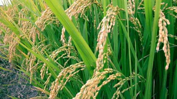 Radulescu: 2012 va fi un an agricol mai slab. Fermierii nu mai vor sa creasca animale
