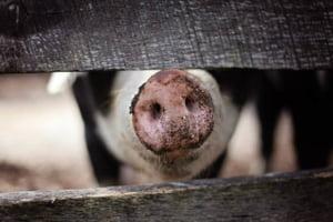 Romania primeste 16 milioane de euro de la Comisia Europeana pentru despagubirile pe pesta porcina