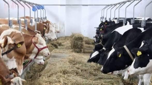 Romania va exporta bovine pentru reproducere si carne de porc in China