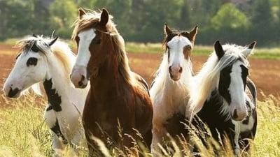 Cererea pentru cabaline este in scadere. Cat mai costa un cal de la Romsilva