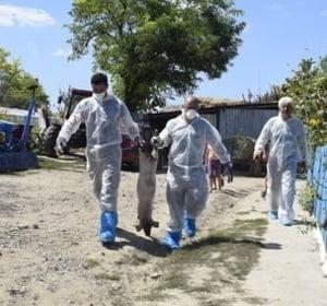 SRI a informat Guverul cu privire la pericolul pestei porcine inca din iunie 2016. Sunt in pericol si oile